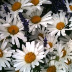 Daisies and Lavendar; my favourites