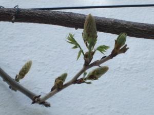 wisteria buds 2