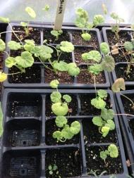 rescue geraniums