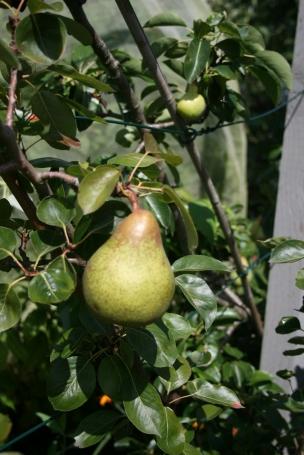 beth pear