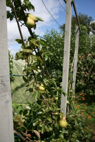 cordon pear