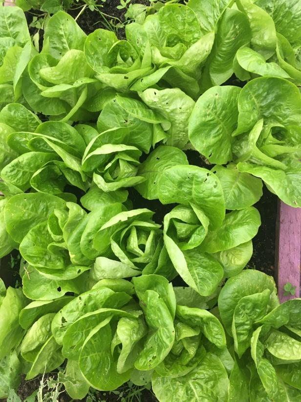 winter lettus